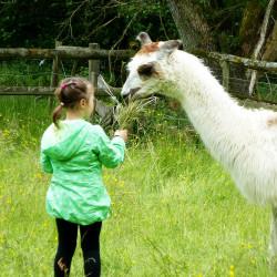Katarina beim Füttern auf der Lamafarm